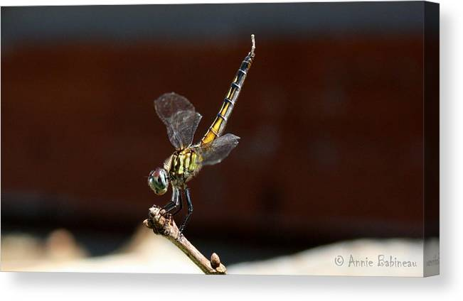 Blue Canvas Print featuring the photograph Dragonfly by Annie Babineau
