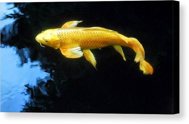Koi Canvas Print featuring the photograph Into The Light by Don Mann