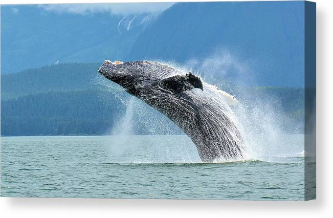Canvas Print featuring the photograph Breaching Humpback, Juneau by Tahomawind Photography