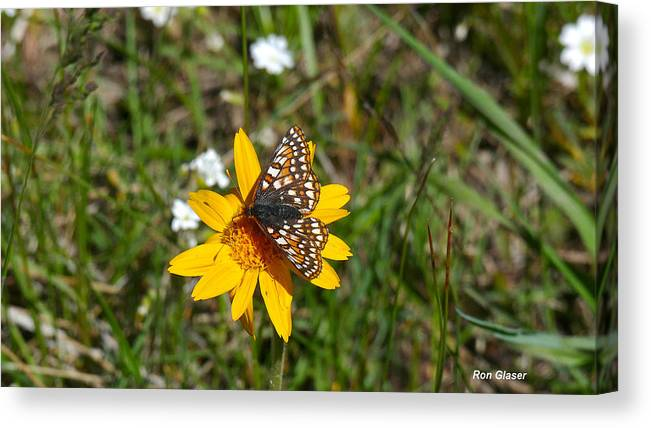 Ron Glaser Canvas Print featuring the photograph Checkerspot On Bahai Aster 2 by Ron Glaser