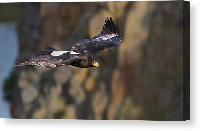 Soaring Eagle Canvas Print featuring the photograph Soaring Black Eagle by Basie Van Zyl