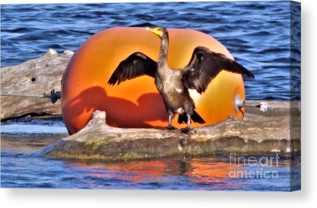 Bird Canvas Print featuring the photograph Double Crested Cormorant  Drying Wings     September    Indiana by Rory Cubel