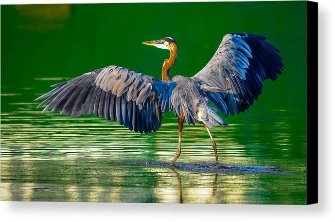 Ardea Canvas Print featuring the photograph Great Blue Heron by Brian Stevens