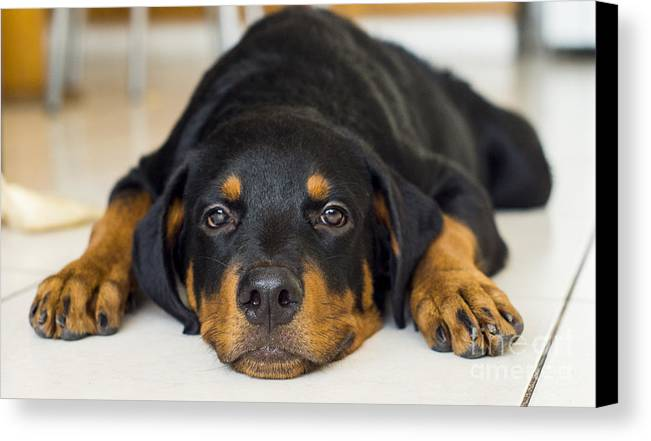 Puppy Canvas Print featuring the photograph Day Dreaming by Aged Pixel