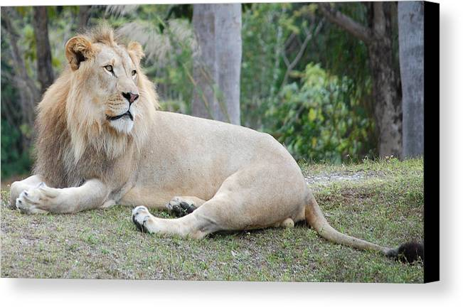 Lion Canvas Print featuring the photograph Lion Around by Mitchell Rudin