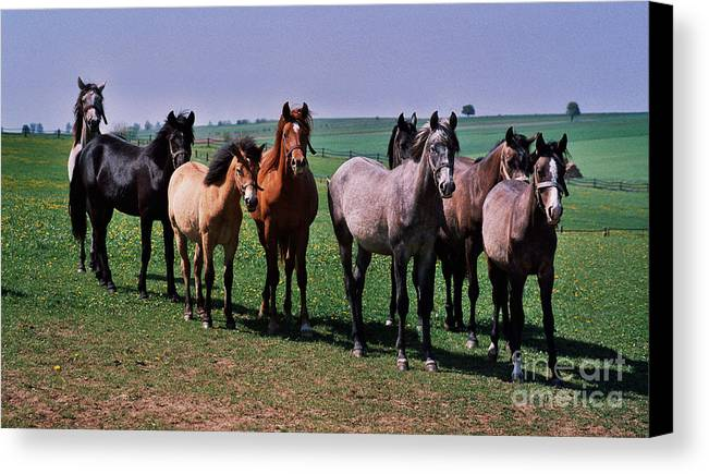 Horses Canvas Print featuring the photograph The Audience by Angel Ciesniarska