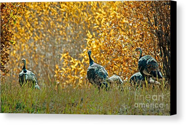 Birds Canvas Print featuring the photograph Wild Turkeys And Fall Colors by Robert Bales