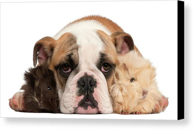 Horizontal Canvas Print featuring the photograph English Bulldog And Guinea Pig by Life On White
