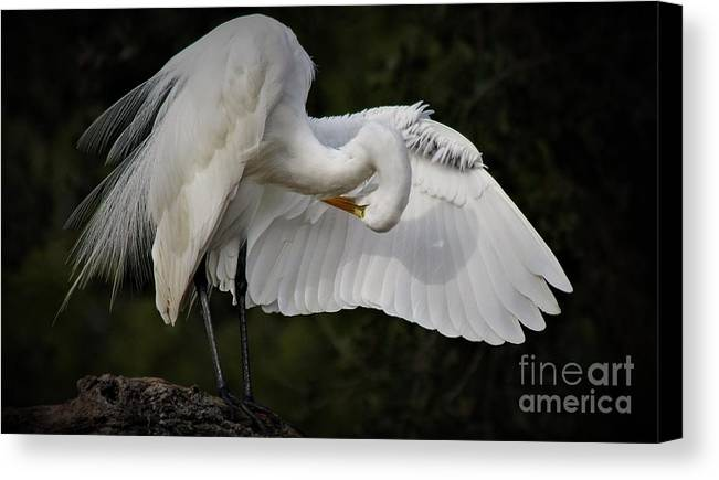 Great White Egret Canvas Print featuring the photograph Great White Egret by Paulette Thomas