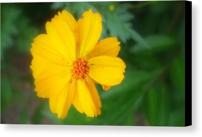 Flowers Canvas Print featuring the photograph Summer Coreopsis by Janet Telander