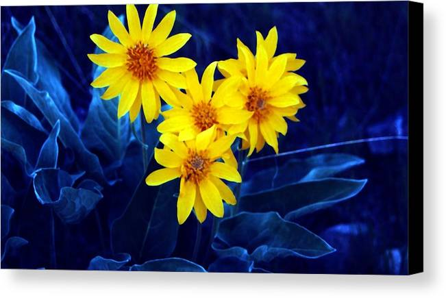 Sunflowers Canvas Print featuring the photograph Wild Sunflowers by Tiffany Vest