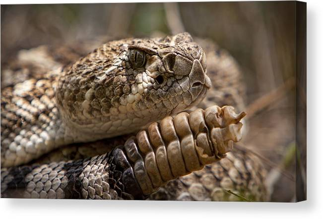 Snakes Canvas Print featuring the photograph Becareful by Isaac Garza