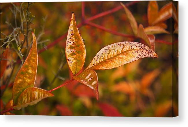 Close-up Canvas Print featuring the photograph Winter Colors by Ronda Broatch
