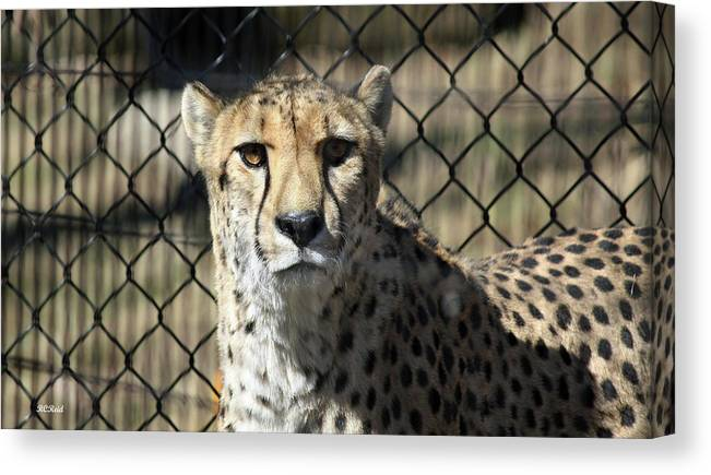 Maryland Canvas Print featuring the photograph Cheetah Alert by Ronald Reid