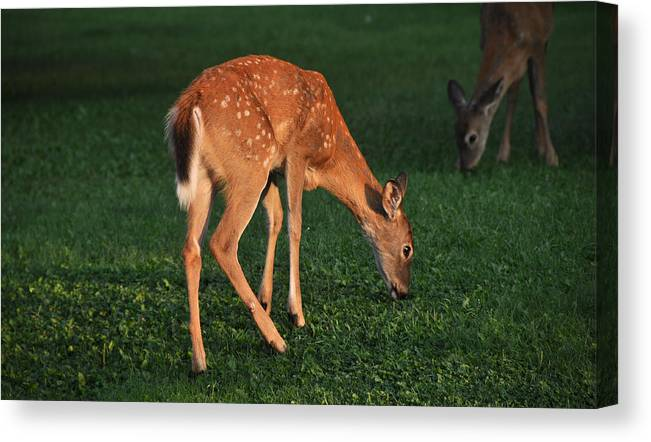 Fawn Canvas Print featuring the photograph Fawn At Dusk by John Ricker
