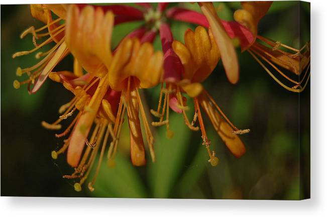 Honeysuckle Canvas Print featuring the photograph Flower Tongues by Jean Booth