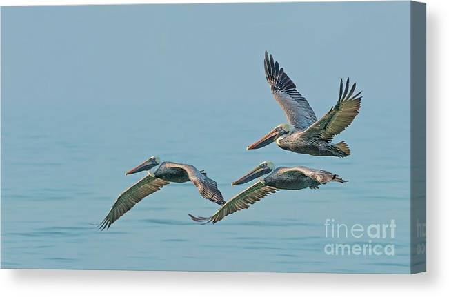 Pelicans Canvas Print featuring the photograph Pelican Trio by Sherry Butts