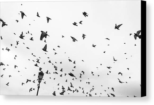 Pigeons Canvas Print featuring the photograph Pigeons In Flight by Admir Gorcevic