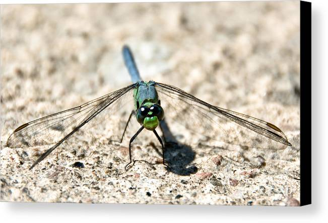 Dragonfly Canvas Print featuring the photograph Eastern Pondhawk Front by Cheryl Baxter