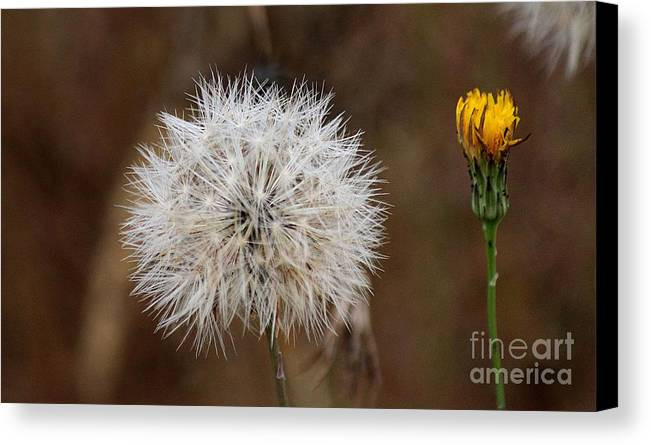 Dandelion Canvas Print featuring the photograph Something Old Something New by Erica Hanel