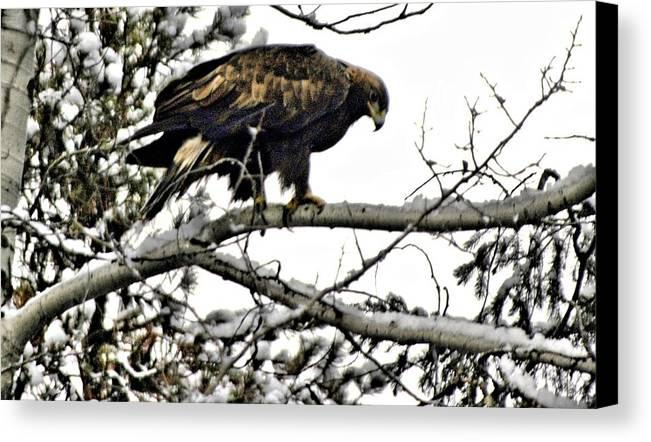 Eagles Canvas Print featuring the photograph Golden Eagle Watches by Don Mann