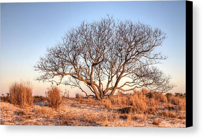 Assateague Island Canvas Print featuring the photograph The Family Tree by JC Findley