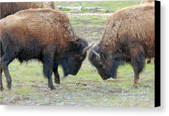 Bison Canvas Print featuring the photograph Bison Standoff by Dennis Hammer
