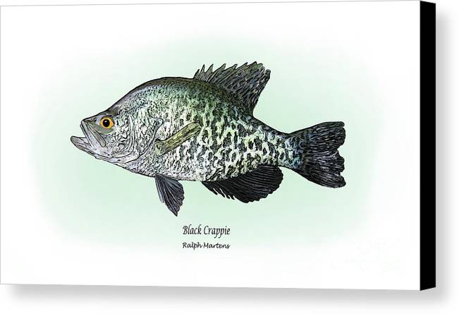 Crappie Canvas Print featuring the drawing Black Crappie by Ralph Martens