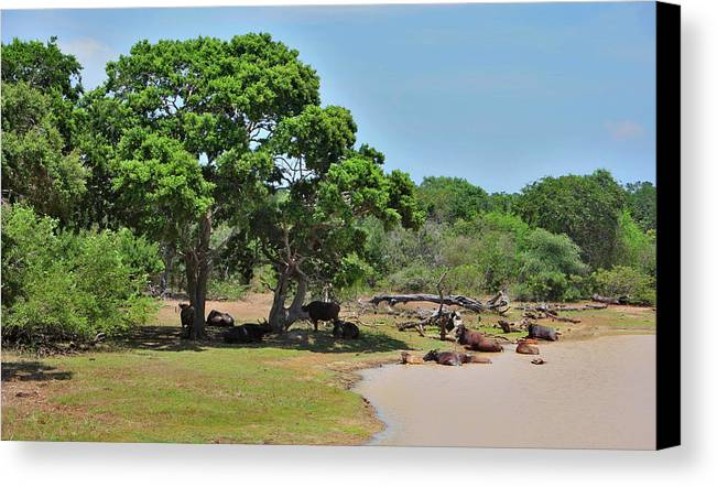 Landscape Canvas Print featuring the photograph Buffalo At Hambantota by Mark Victors