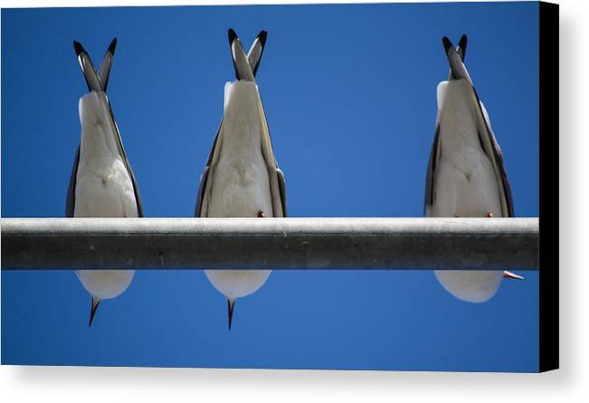 Seagulls Canvas Print featuring the photograph Do You See Humans? by Borhan Alzibi