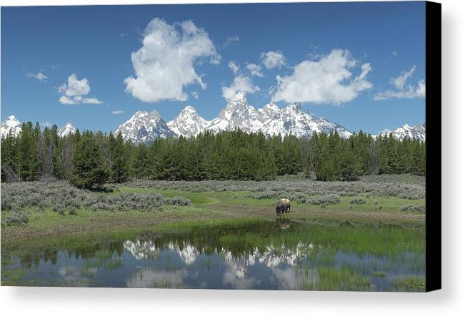 Buffalo Canvas Print featuring the photograph Drinking Buffalo by George Sanquist