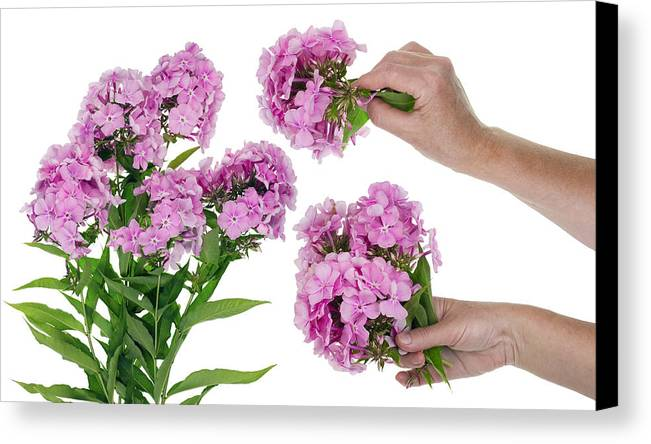 Phlox Canvas Print featuring the photograph Harvesting Of Pink Phloxes by Aleksandr Volkov