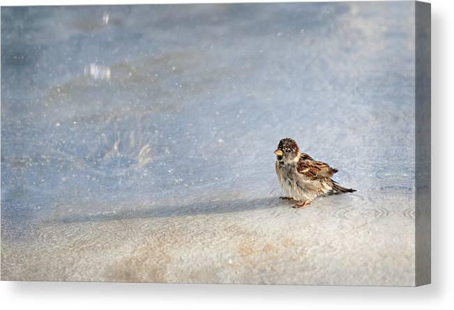 Sparrow Canvas Print featuring the photograph Singin In The Rain by Jill Love