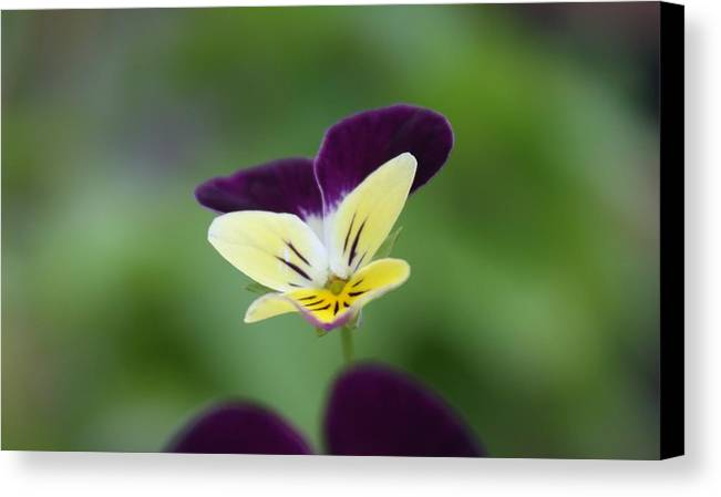 Flower Canvas Print featuring the photograph Jumpin' Johnny by Tami Rounsaville