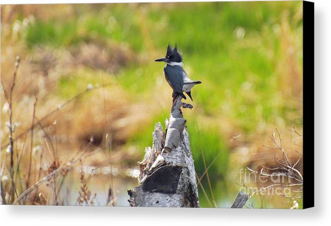 ©anna Martineau Merritt Canvas Print featuring the photograph Belted Kingfisher by Whispering Feather Gallery