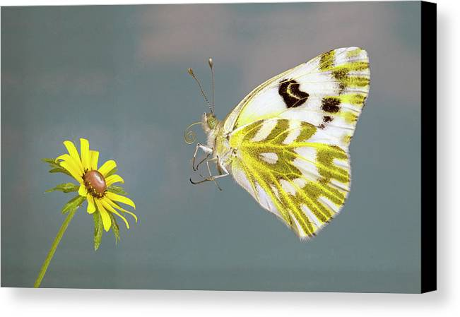 Becker's; White; Butterfly; Pontia; Beckerii; Great; Beasin; White; Sagebrush; White; Probiscis; Feeding Tube; Nectar; Pollen; Nature; Outdoors; Garden; Tranquil; Feeding; Eating Canvas Print featuring the photograph Becker's White Butterfly by Buddy Mays