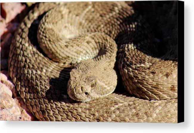 Wild Canvas Print featuring the photograph Diamondback Rattlesnake Close-up 062414a by Edward Dobosh