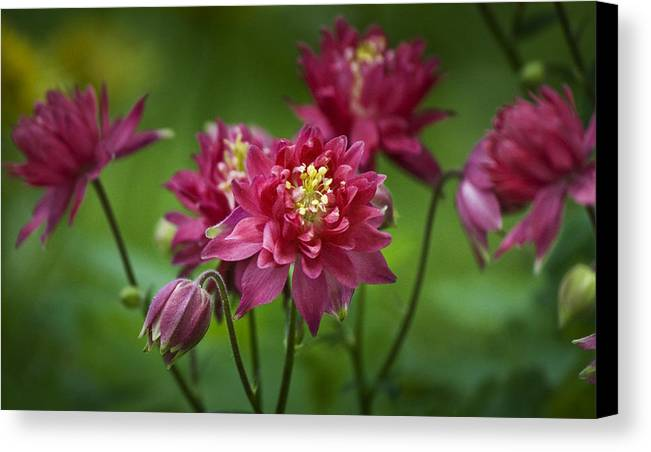 Columbine Canvas Print featuring the photograph Hot Pink Columbine by Teresa Mucha