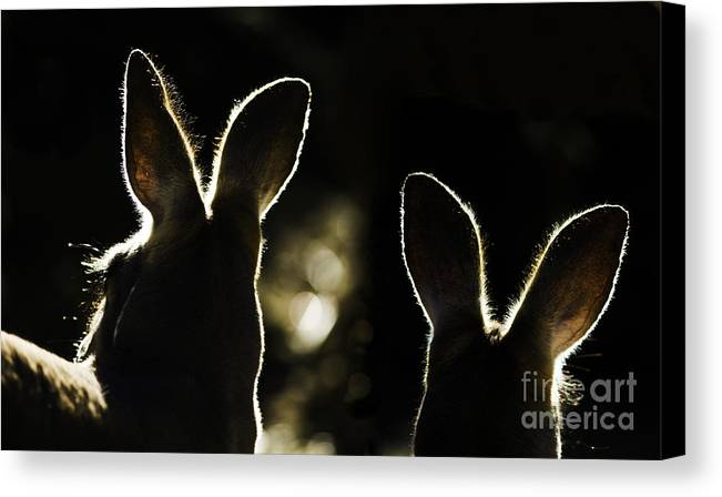 Kangaroo Canvas Print featuring the photograph Kangaroos Backlit by Sheila Smart Fine Art Photography