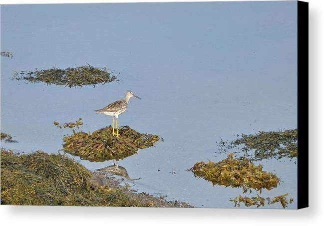 Sandpiper Canvas Print featuring the photograph Sandpiper On Stilts by Colleen English