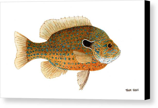 Sunfish Canvas Print featuring the painting Study Of A Longear Sunfish by Thom Glace
