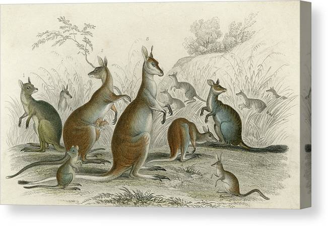 Kangaroos Canvas Print featuring the drawing Various Kangaroos Lord Derby's, Aroe by Mary Evans Picture Library