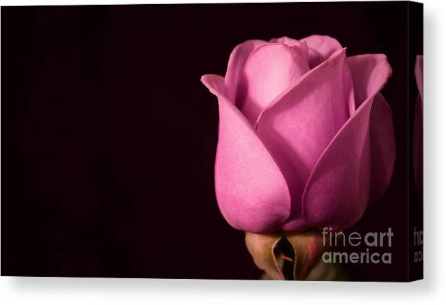 Rose Canvas Print featuring the photograph Pink Rose by Robin Lynne Schwind