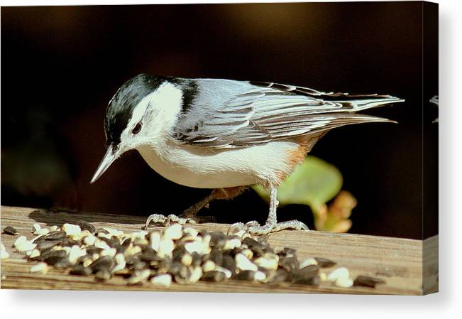 Bird Canvas Print featuring the photograph Nuts For The Nuthatch by Rosanne Jordan