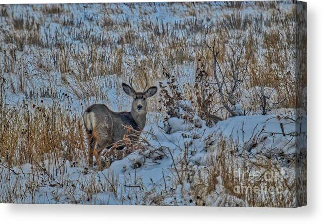 Wildlife Canvas Print featuring the photograph A Christmas Day Young Buck by James Stewart