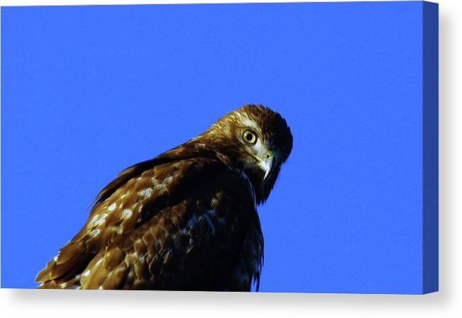 Hawks Canvas Print featuring the photograph A Hawk Looking Back by Jeff Swan