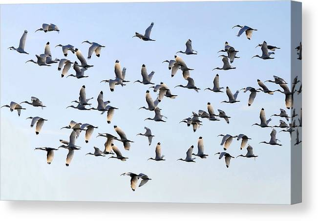 White Ibis Canvas Print featuring the photograph Flight Of The White Ibis by David Lee Thompson