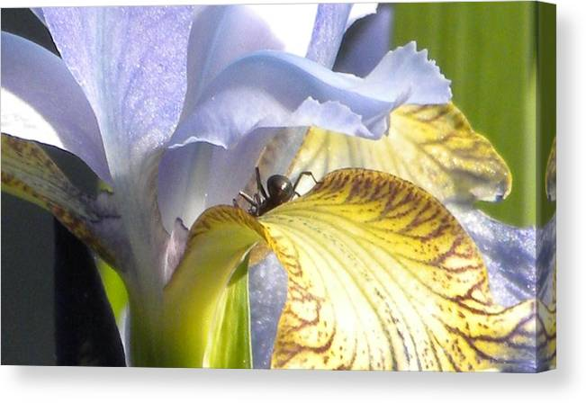Iris Canvas Print featuring the photograph Iris Spider by Karen Moulder