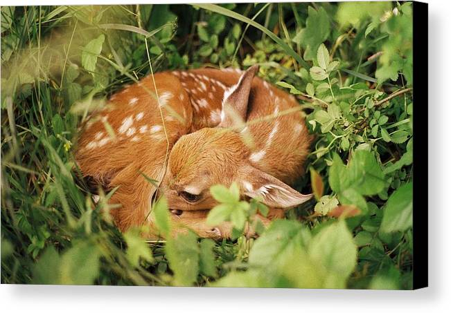 Deer Canvas Print featuring the photograph 080806-17 by Mike Davis