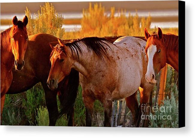 Horse Canvas Print featuring the photograph Three Horses Of A Suspicious Corral by Gus McCrea